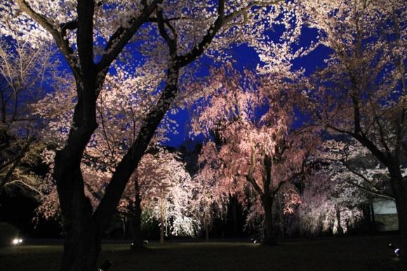 桜・ライトアップ@二条城