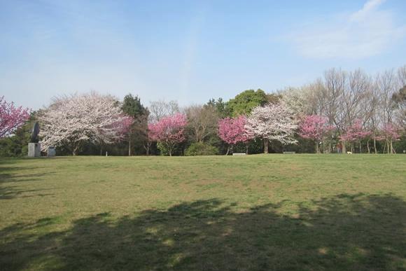 桜@本牧山頂公園